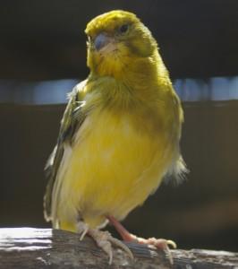 Canary_(Serinus_canaria)_01